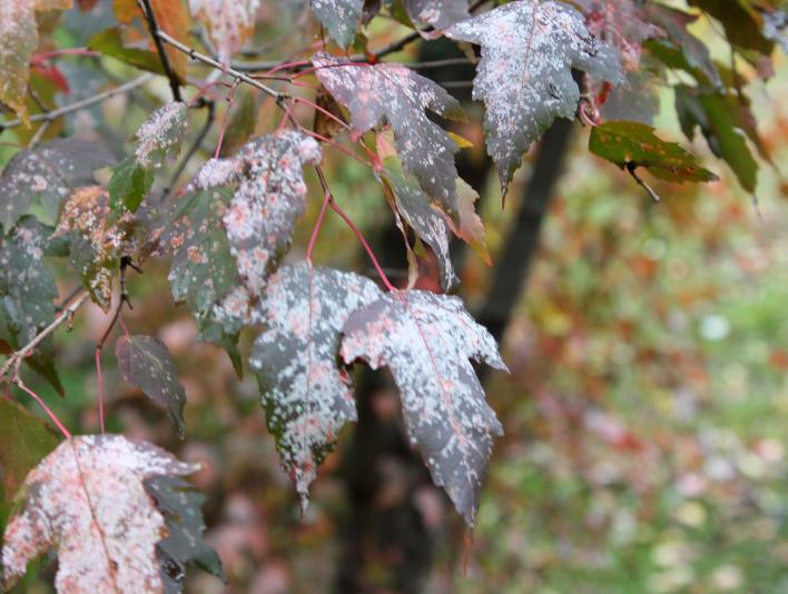 мучнистая роса на листьях клена