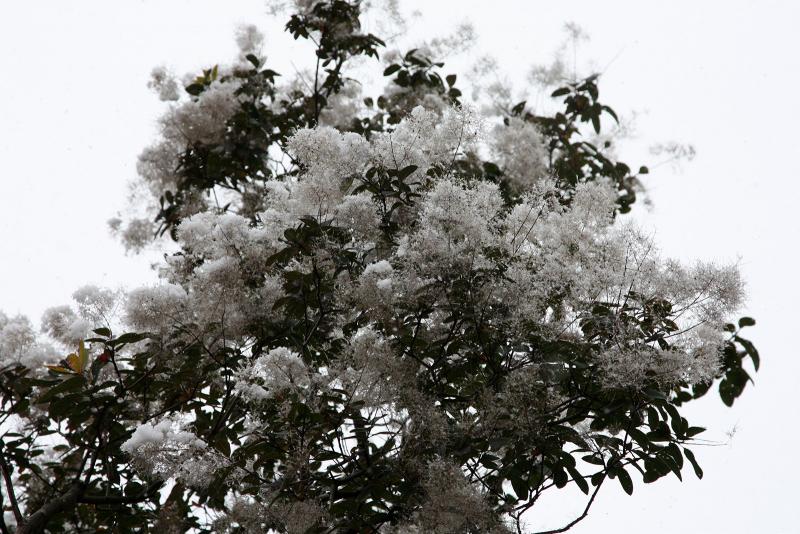 """""""цветы"""" скумпии кожевенной под снегом"""