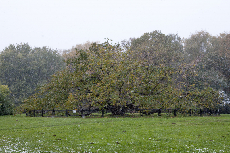 Самый известный орех манчжурский ГБС (говорят под его кроной 4 сотки!)