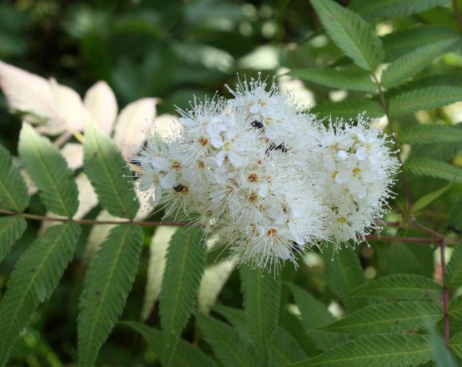 Рябинник рябинолистный Сэм (Sorbaria sorbifolia Sem)