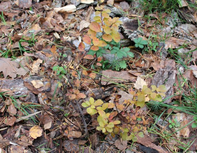 Спирея берёзолистная Tor (Spiraea betulifolia Tor)