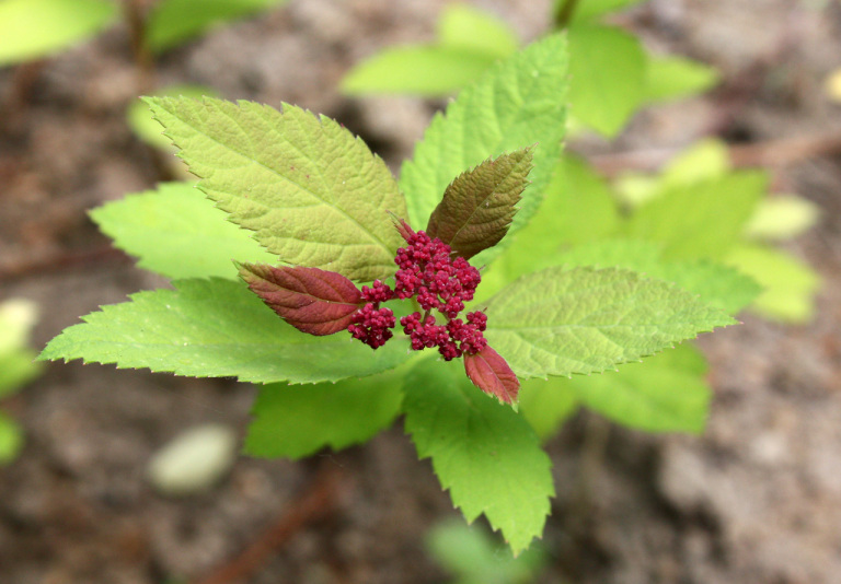 Спирея японская Tracy (Spiraea japonica Tracy / Spiraea japonica Double Play Big Bang)