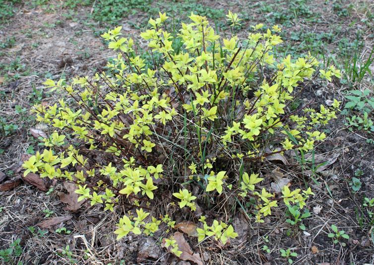 Спирея японская Голден Принцесc (Spiraea japonica Golden Princess)
