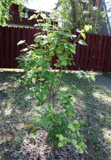 Сирень обыкновенная Aucubaefolia (Syringa vulgaris Aucubaefolia)