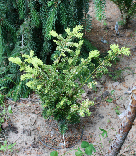 Тис остроконечный Silver Queen (Taxus cuspidata Silver Queen)