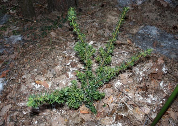 Тис средний Хикси (Taxus media Hicksii)