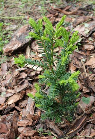 Тис остроконечный Nana (Taxus cuspidata var Nana)