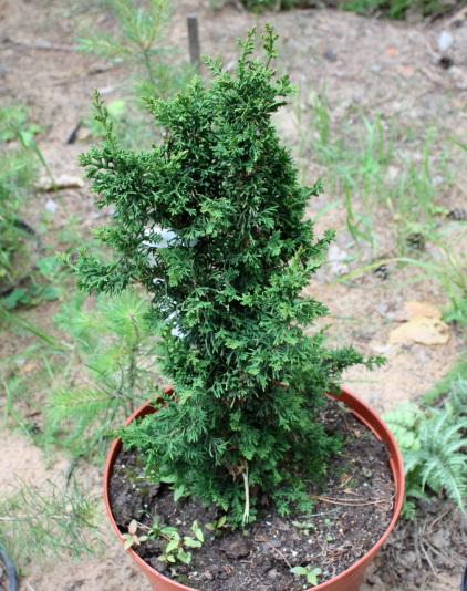 Туя западная Malonyana Holub (Thuja occidentalis Malonyana Holub)