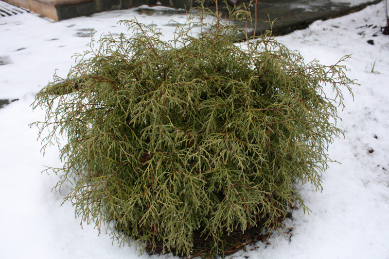 Туя западная Мистер Боулинг Болл (Thuja occidentalis Mr. Bowling Ball)
