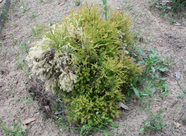 Туя западная Рейнголд (Thuja occidentalis Rheingold)