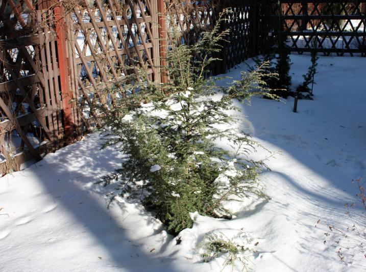 Тсуга канадская Gentsch White (Tsuga canadensis Gentsch White)