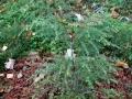 Тсуга канадская видовая (Tsuga canadesis)
