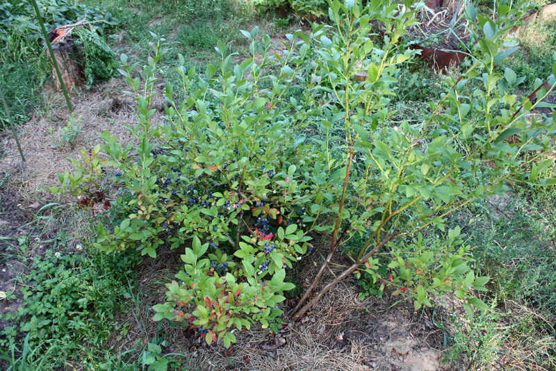 Голубика высокорослая (Vaccinium corymbosum)