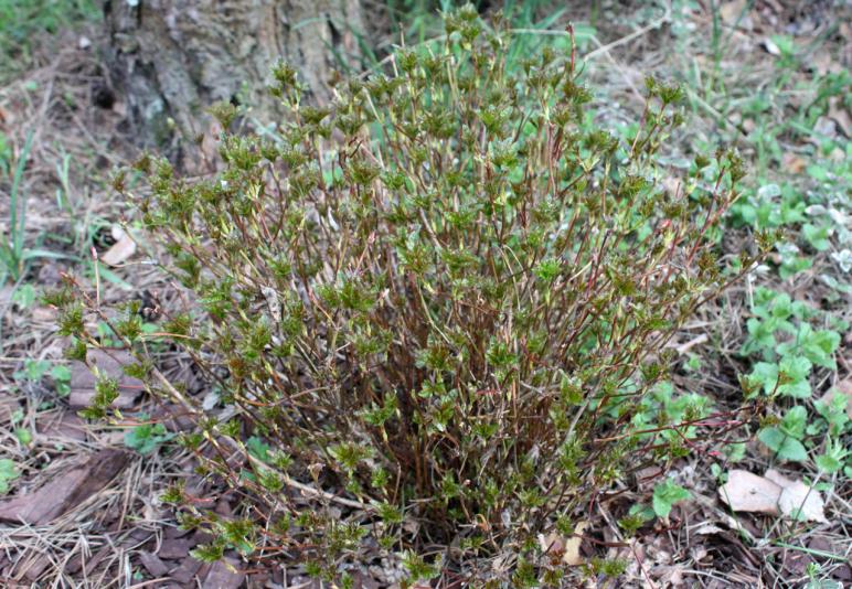 Калина обыкновенная Нанум (Viburnum opulus Nanum)