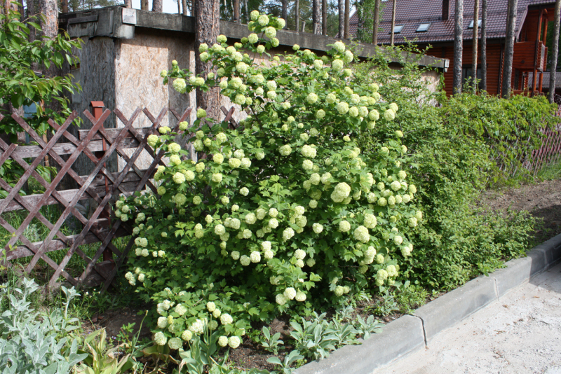 Калина Бульденеж (Viburnum opulus Roseum)