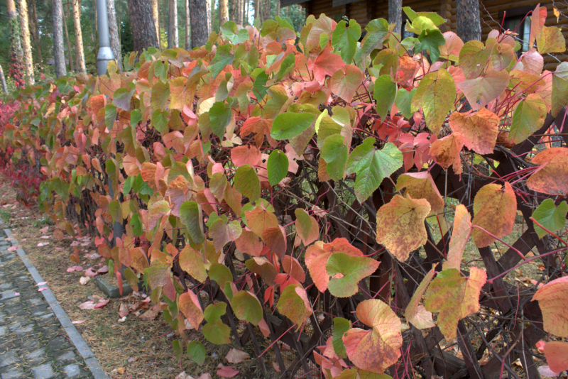 Виноград амурский (Vitis amurensis)