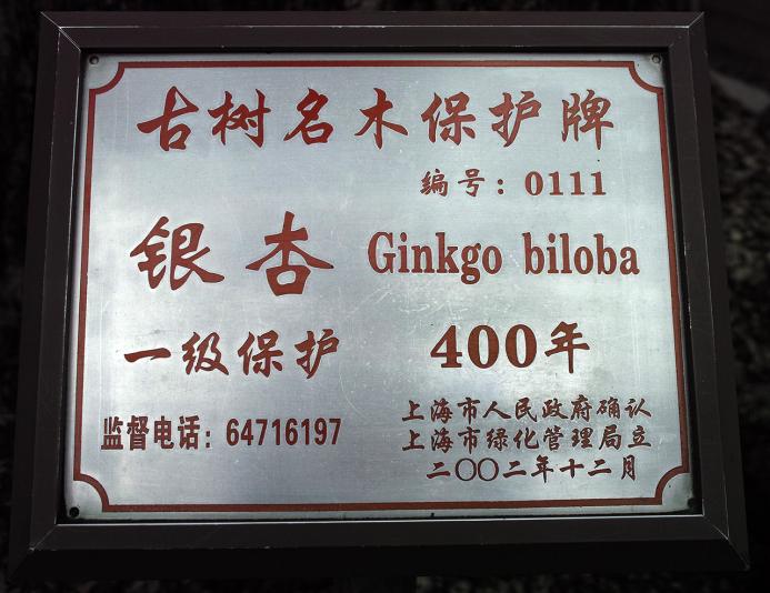 Гинкго билоба, сад Юй Юань, Шанхай (Yuyuan garden)