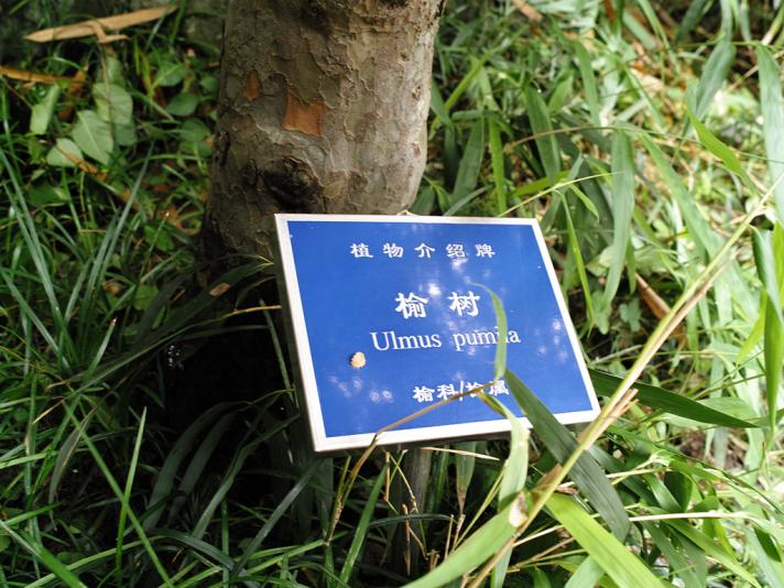 Вяз приземистый, сад Юй Юань, Шанхай (Yuyuan garden)