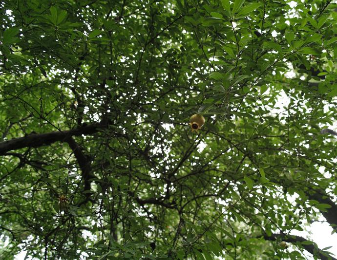 Гранатовое дерево, сад Юй Юань, Шанхай (Yuyuan garden)