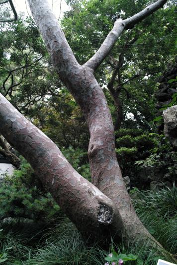 Сосна Бунге или Pinus bungeana, Сад Юй Юань, Шанхай (Yuyuan garden)
