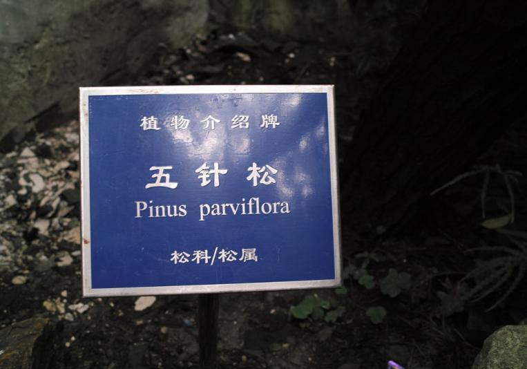 Сосна мелкоцветковая, сад Юй Юань, Шанхай (Yuyuan garden)